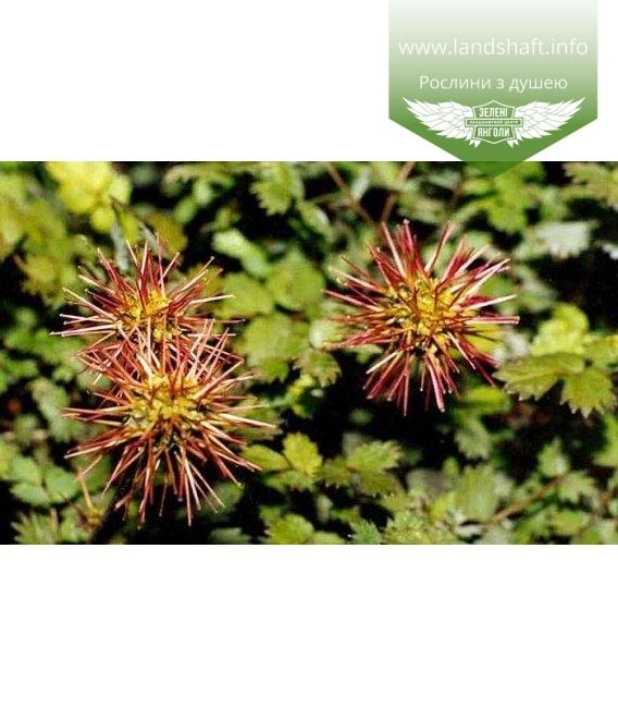 Acaena microphylla Ацена мелколистная