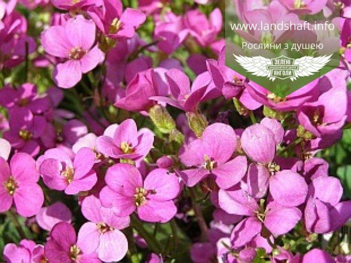 Arabis caucasica 'Compinkie', Арабіс кавказький 'Компінкі',P7-Р9 - гор 3
