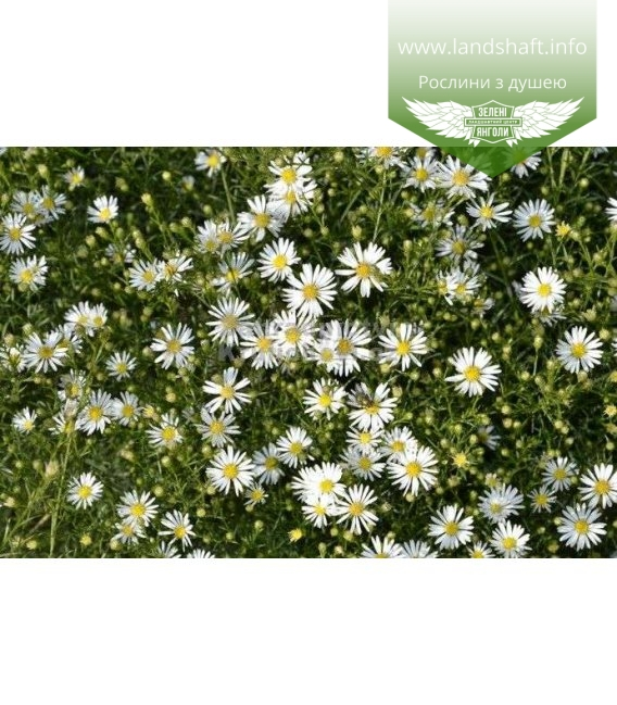 Aster ericoides 'Monte Cassino', Айстра верескова 'Монте Кассіно'