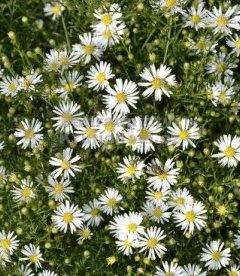 Aster ericoides 'Monte Cassino', Астра вересковая 'Монте Кассино'