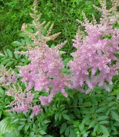 Astilbe arendsii Астильбе Арендса