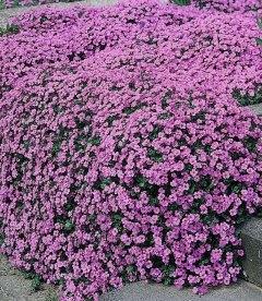 Aubrieta hybrida 'Lucas', Обрієта гібридна 'Лукас'