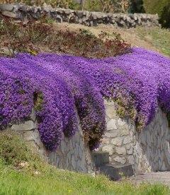 Aubrieta hybrida 'Blaumeise', Обрієта гібридна 'Блаумайсе'