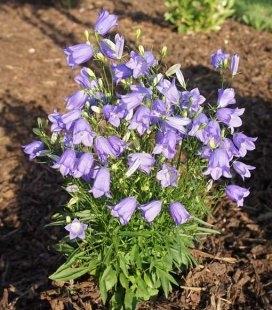 Campanula rotundifolia 'Thumbell Blue', Колокольчик круглолистный 'Тумбелл Блу'