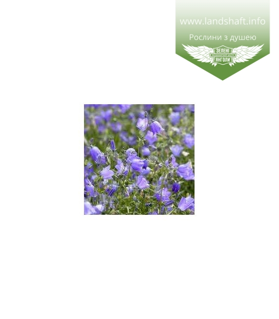 Campanula rotundifolia 'Thumbell Blue', Дзвоники круглолисті 'Тумбелл Блу'