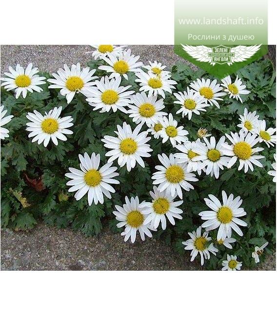 Chrysanthemum arcticum Хризантема арктическая
