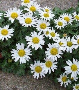 Chrysanthemum arcticum Хризантема aрктична