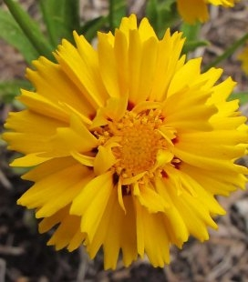 Coreopsis grandiflora 'Presto', Кореопсис крупноцвітковий 'Престо'