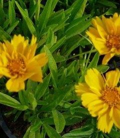 Coreopsis grandiflora 'Presto' Кореопсис крупноцветковый
