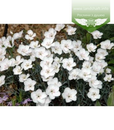 Dianthus gratianopolitanus 'La Bourbulle Alba', Гвоздика гренобльська 'Ла Борбулл Алба'