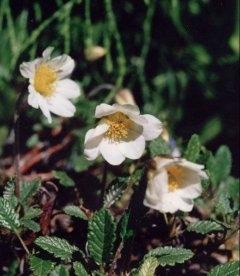 Dryas Suendermannii, Дріада Зюндермана