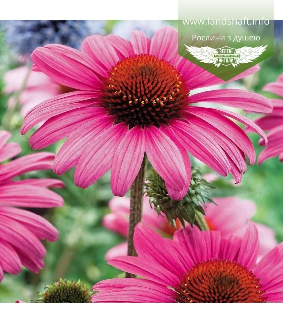Echinacea purpurea Эхинацея пурпурная