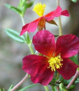 Helianthemum 'Red Orient' Сонцецвіт (Геліантемум)