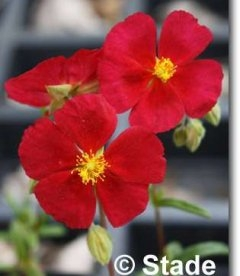 Helianthemum 'Red Orient' Солнцецвет