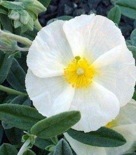 Helianthemum hybridum 'The Bridge', Сонцецвіт гібридний 'Зе Брідж'