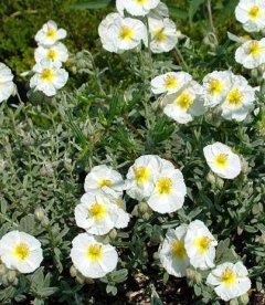 Helianthemum 'The Bridge' Солнцецвет