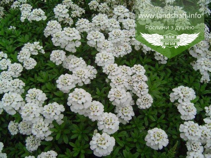 Iberis sempervirens, Іберіс вічнозелений,P7-Р9 - горщик 9х9х9 3