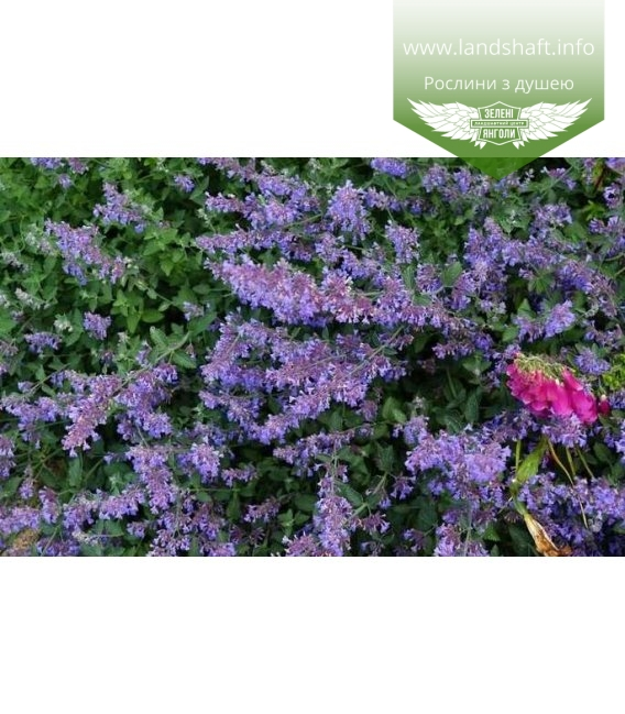 Nepeta racemosa 'Six Hills Giant' Котовник кистистый