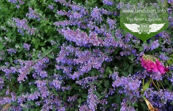 Nepeta racemosa 'Six Hills Giant', Котовник 'Сікс Гілс Джаєнт',P7-Р9 -