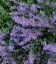 Nepeta racemosa 'Six Hills Giant', Котовник кистистый 'Сикс Хиллс Джайент'