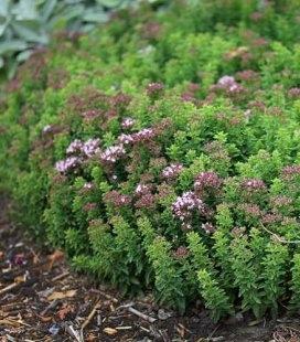 Origanum vulgare 'Compactum', Душица обыкновенная 'Компактум'