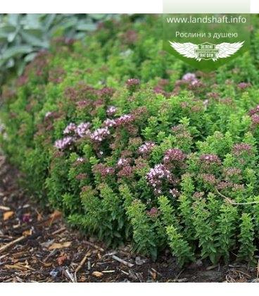 Origanum vulgare 'Compactum', Материнка звичайна 'Компактум'