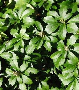 Pachysandra terminalis, Пахизандра верхушечная