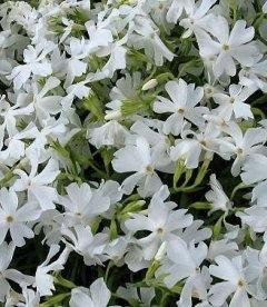 Phlox subulata 'Calvides White' Флокс шиловидный