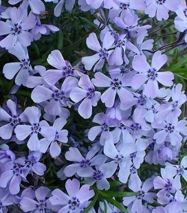 Phlox subulata 'Emerald Cushion Blue', Флокс шиловидний 'Емералд Кюшон Блу'