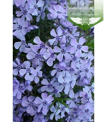 Phlox subulata 'Emerald Cushion Blue' Флокс шиловидный