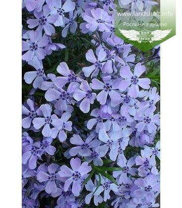 Phlox subulata 'Emerald Cushion Blue', Флокс шиловидний 'Емералд Кюшон Блу'