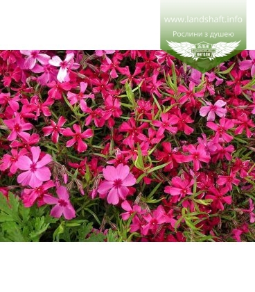 Phlox subulata 'Red Wing', Флокс шиловидний 'Ред Вінг'