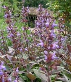Salvia officinalis 'Purpurescens', Шавлія лікарська 'Пурпуресценс'
