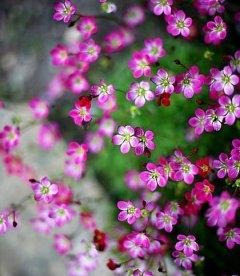 Saxifraga arendsii 'Purple Robe', Ломикамінь Арендса 'Пьорпл Роуб'