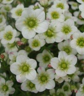 Saxifraga arendsii 'White Pixie', Ломикамінь Арендса 'Вайт Піксі'