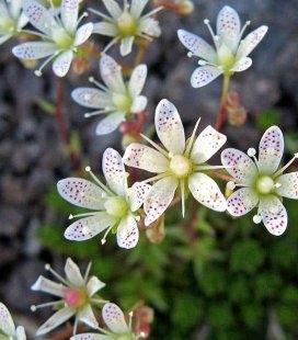 Saxifraga bronchialis, Камнеломка гребенчатая