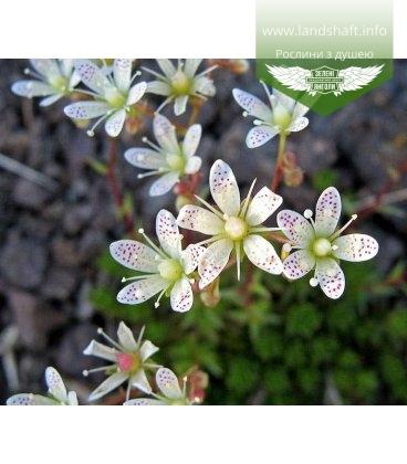 Saxifraga bronchialis Камнеломка гребенчатая