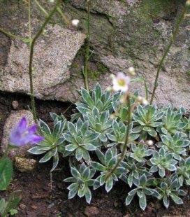 Saxifraga cartilaginea, Камнеломка хрящевая