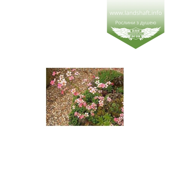 Saxifraga cartilaginea Камнеломка хрящевая