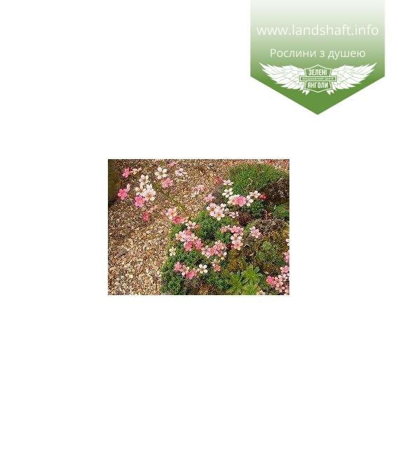 Saxifraga cartilaginea, Ломикамінь хрящуватий