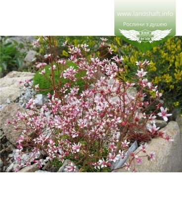 Saxifraga 'London Pride' Камнеломка