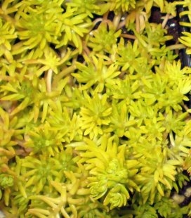 Sedum 'Lemon ball' Очиток
