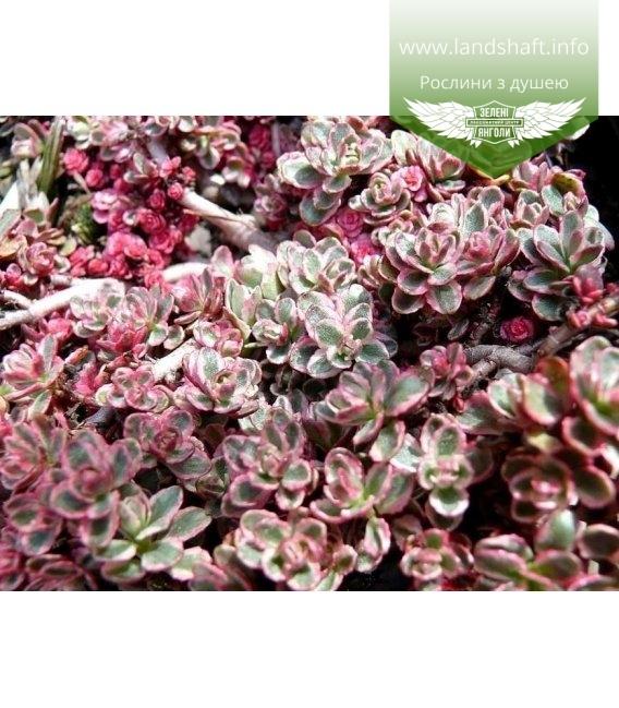 Sedum spurium 'Tricolor' Очиток ложный