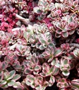 Sedum spurium 'Tricolor', Очиток несправжній 'Тріколор'