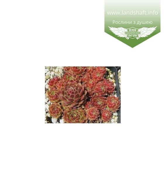 Sempervivum arachnoideum, Молодило павутинисте бордове