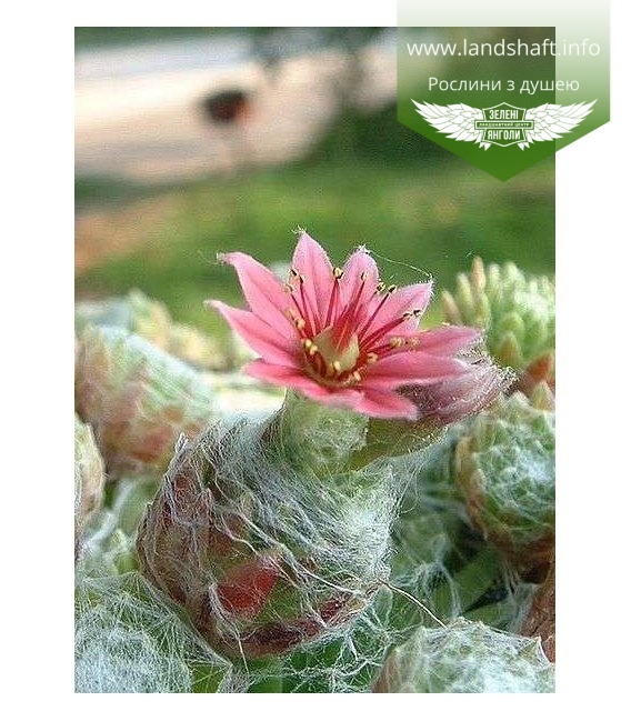 Sempervivum arachnoideum Молодило паутинистое