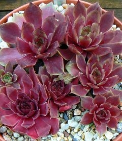 Sempervivum 'Lipari' Молодило