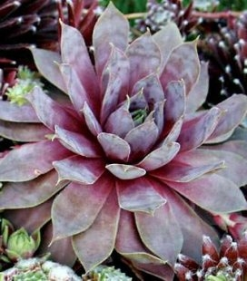 Sempervivum 'Purple Beauty', Молодило 'Перпл Бьюти'