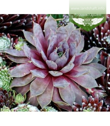 Sempervivum 'Purple Beauty', Молодило 'Пьорпл Бюті'