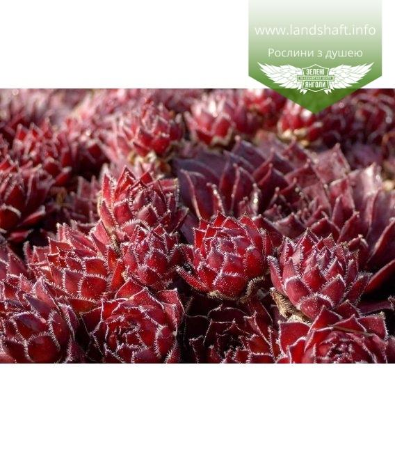 Sempervivum tectorum 'Rubin', Молодило покрівельне 'Рубін'